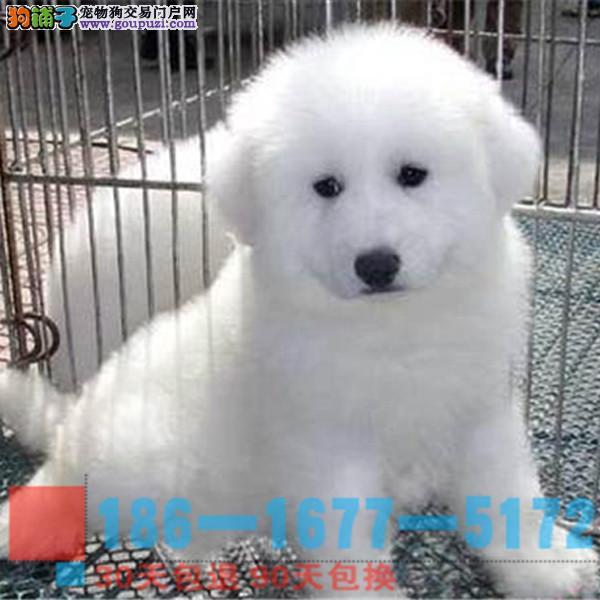 纯种大白熊幼犬终身品质保障品相极佳保健康