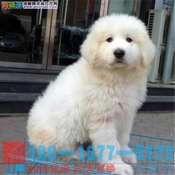 雪兽系赛级大白熊幼犬骨骼大毛质好极品