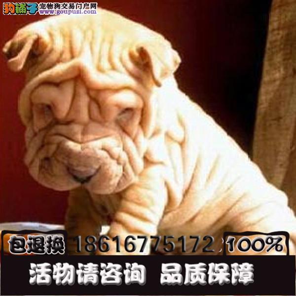 买沙皮犬 满身褶皱 高品质赛级公母都有的