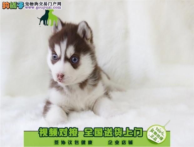 毛色好精品哈士奇幼犬出售可签订活体协议
