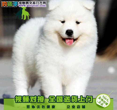 纯种萨摩耶幼犬出售 微笑天使萨摩 品相极佳