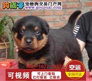 精品防暴护卫犬罗威那幼犬 狗狗纯种健康保障