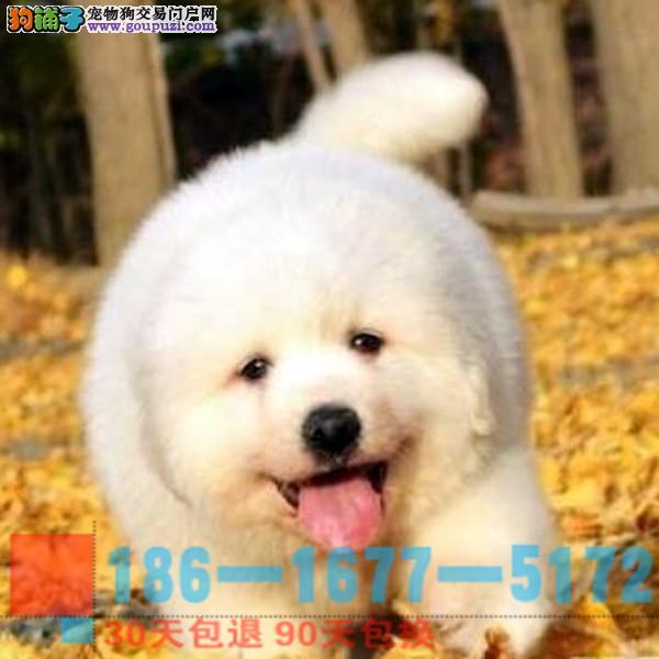 纯种血统健康体魄的大白熊 实体犬舍放心购买
