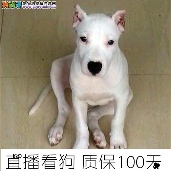 基地出售纯种杜高杜高幼犬赛级 已做疫苗驱虫