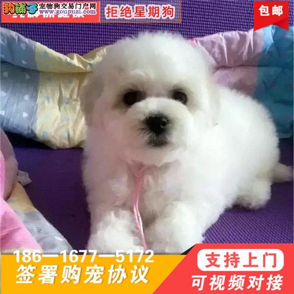 比熊犬纯种幼犬出售家养活体茶杯长不大长毛