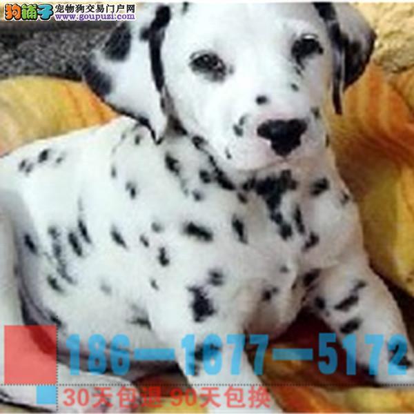 精品斑点幼犬 CKU认证血统 质量三包 可上门