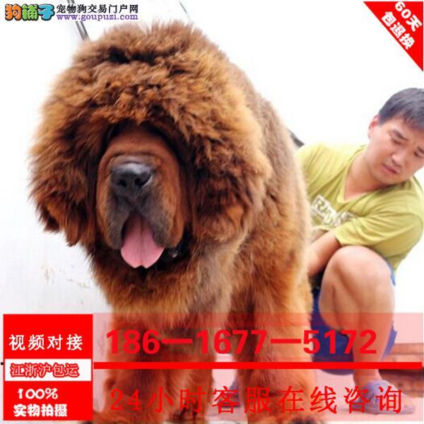 原生大骨量长毛纯种藏獒大狮头藏獒幼獒 品相好