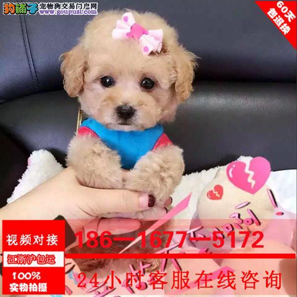 纯种泰迪价格合理 买狗签协议包纯度健康