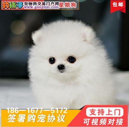 犬舍专业繁殖出售聪明博美等大众精品幼犬