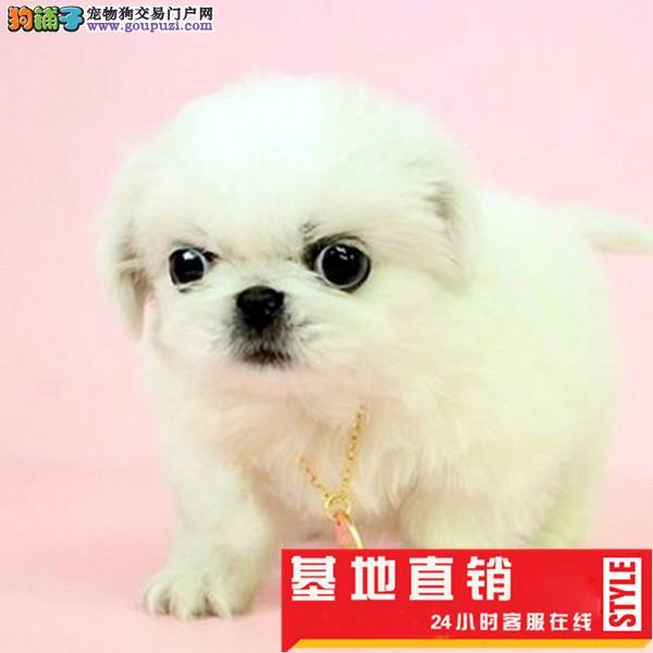很小型的京巴犬出售 小狗是老北京犬