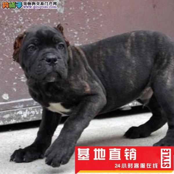 纯种犬繁殖基地出售卡斯罗幼犬疫苗签订协议