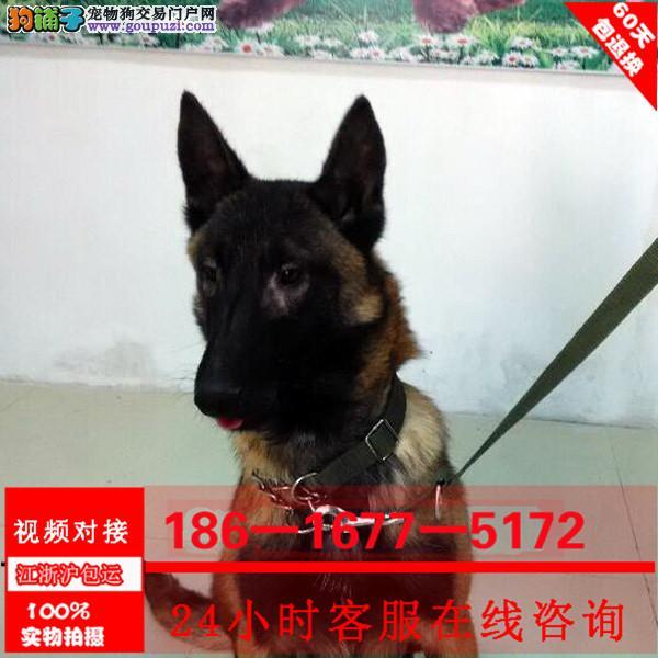 中国的马犬繁殖基地出售纯种马犬 保健康