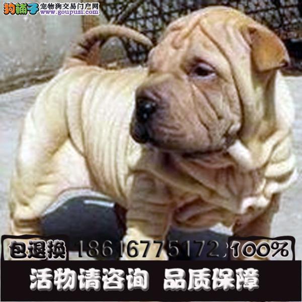 买沙皮犬 满身褶皱 高品质公母都有的哦