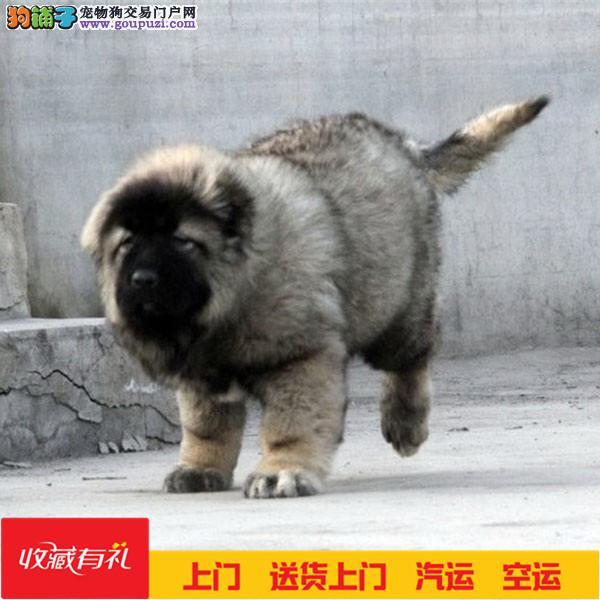 纯种高加索 猛犬高加索 幼犬保证纯种健康