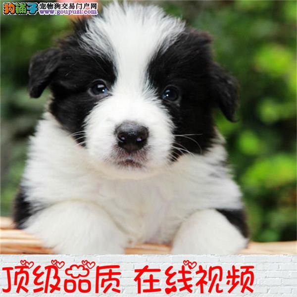 纯种边牧宝宝出售 七白通 保纯签协议可送货