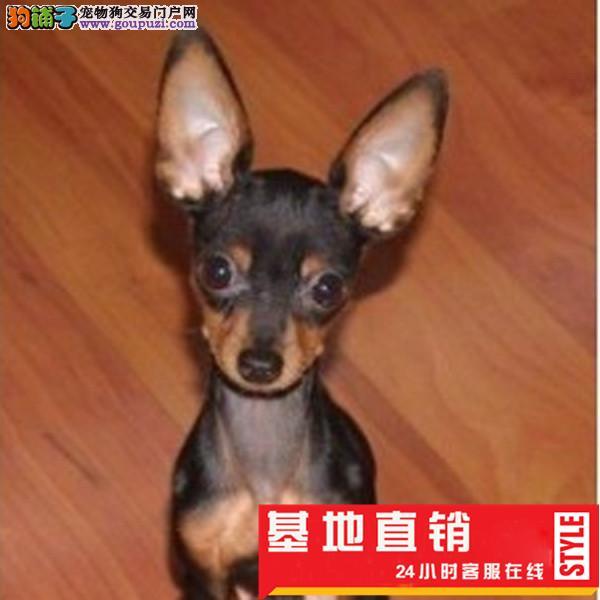 可爱健康的小鹿犬狗狗出售了迷你型长不大
