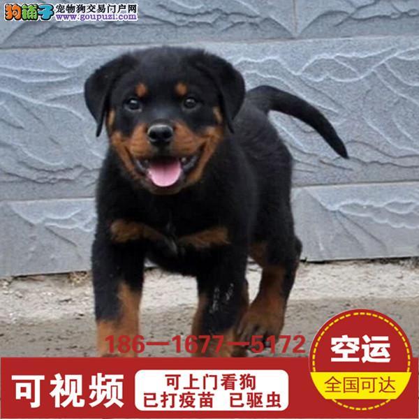 德系罗威纳幼犬高大威猛四肢粗壮品相好