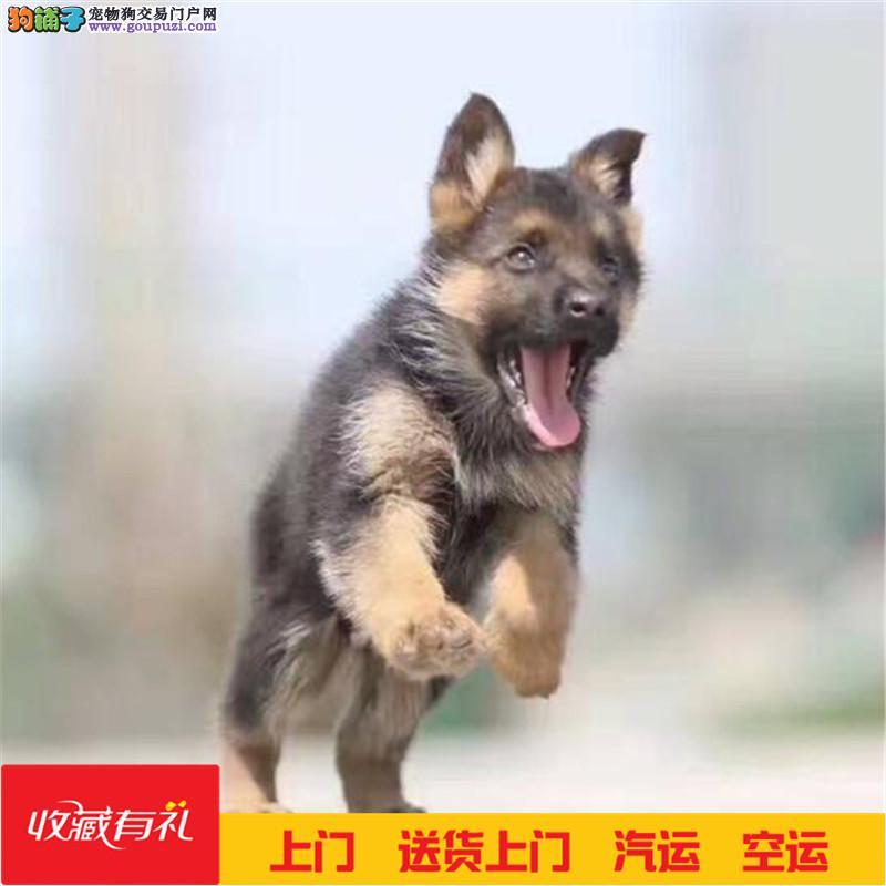 聪明活泼德牧幼犬出售血统纯正保健康专业繁