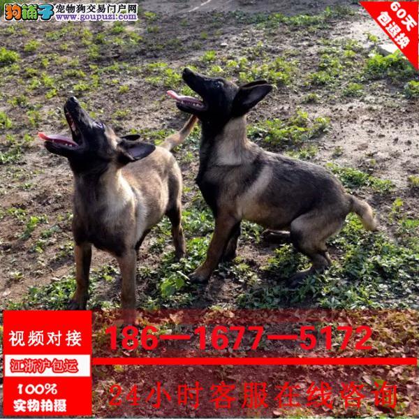 出售纯种马犬 幼犬 血统纯正身体健康.