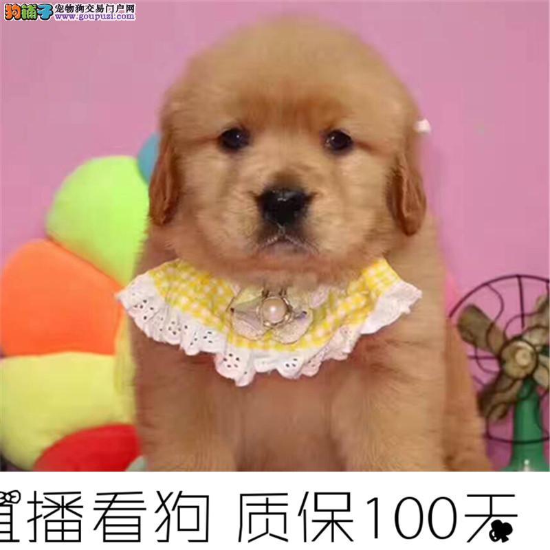 大头金毛幼犬,保健康纯种带血统,加微信视频选