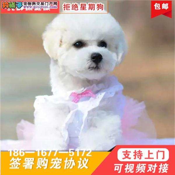圆脸蛋比熊厚毛量棉花糖比熊欢迎上门看狗
