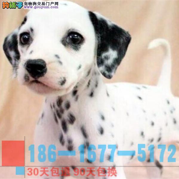 总狗场直销 纯种可爱斑点幼犬保纯保健康