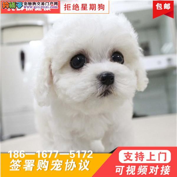 超小体比熊犬幼犬特价出售,可上门挑
