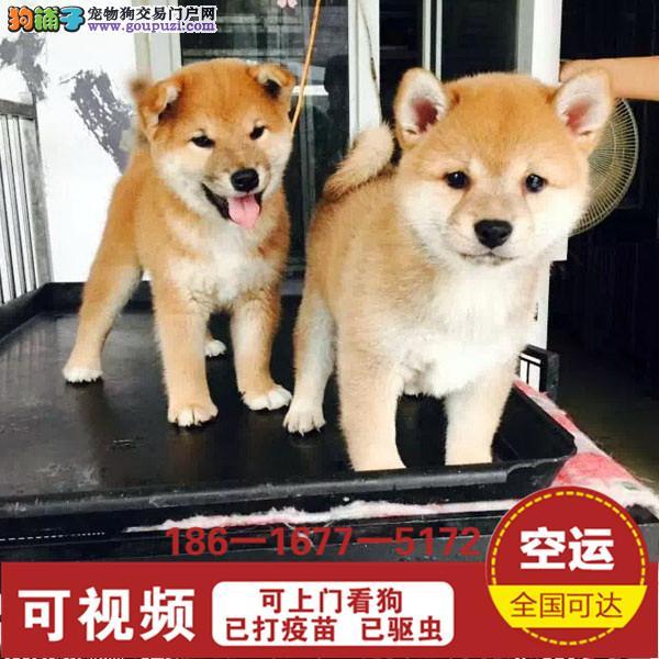 日本宠物狗 日系柴犬纯种幼犬出售 高品质健康.