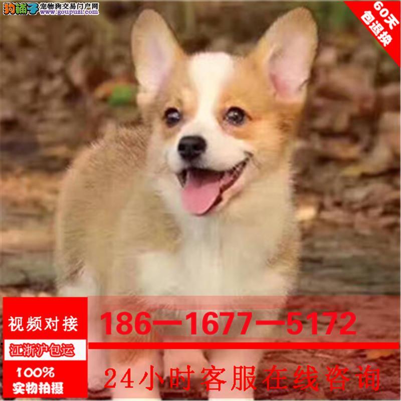 纯种柯基犬幼犬 威尔士两色三色柯基宝宝.