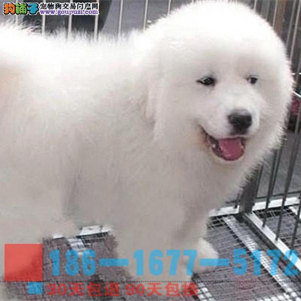 大白熊幼犬 品相血统纯正 保证健康1