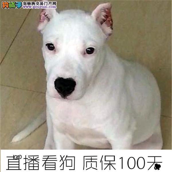 杜高犬阿根廷纯种杜高犬出售杜高幼犬2个多月了