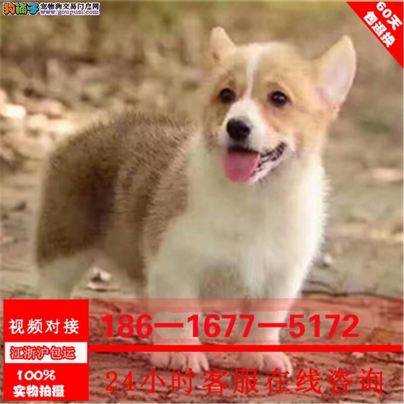 纯种柯基犬幼犬 威尔士两色三色柯基