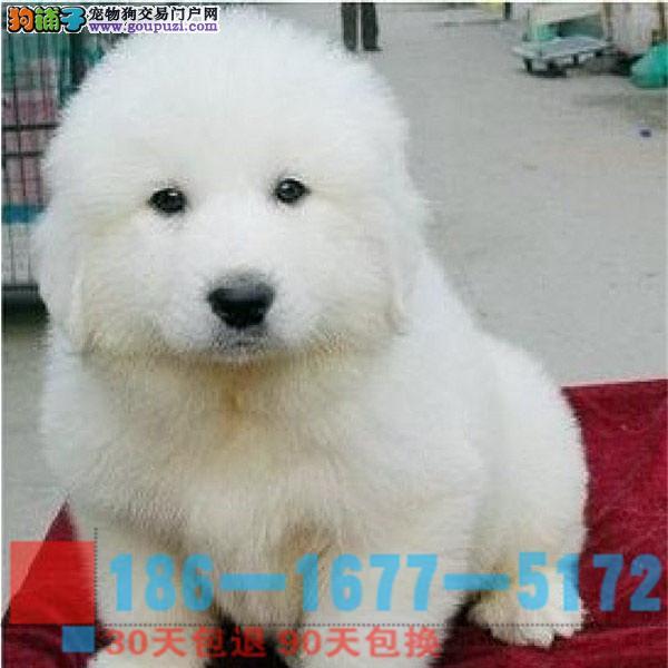 雪兽系赛级大白熊幼犬 骨骼大 毛质好