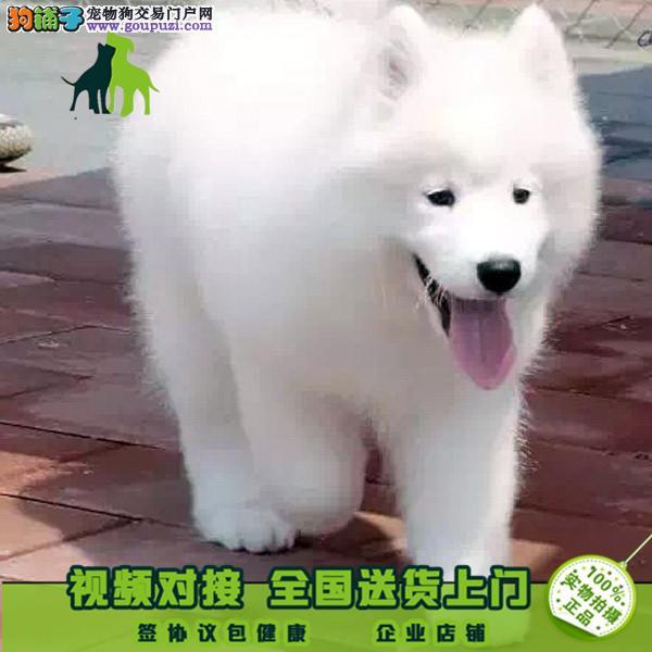 纯种萨摩耶犬 萨摩耶繁殖基地 到哪买纯种萨摩耶