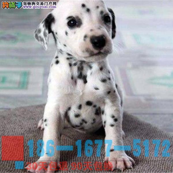 纯种专业 精品 宠物狗狗 斑点 大町犬幼犬出售1