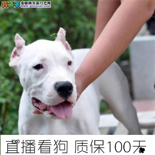 高品质杜高幼犬待售中保纯保健康带证书