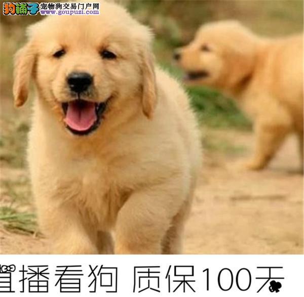 金毛幼犬出售有多只可以挑选纯种健康