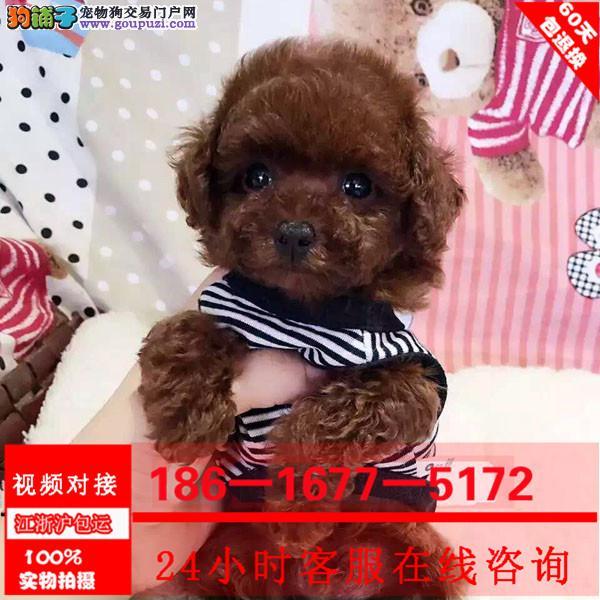 纯种赛级泰迪犬红色泰迪幼犬 玩具泰迪