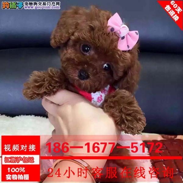韩版小体泰迪 专业繁殖茶杯体玩具体泰迪.