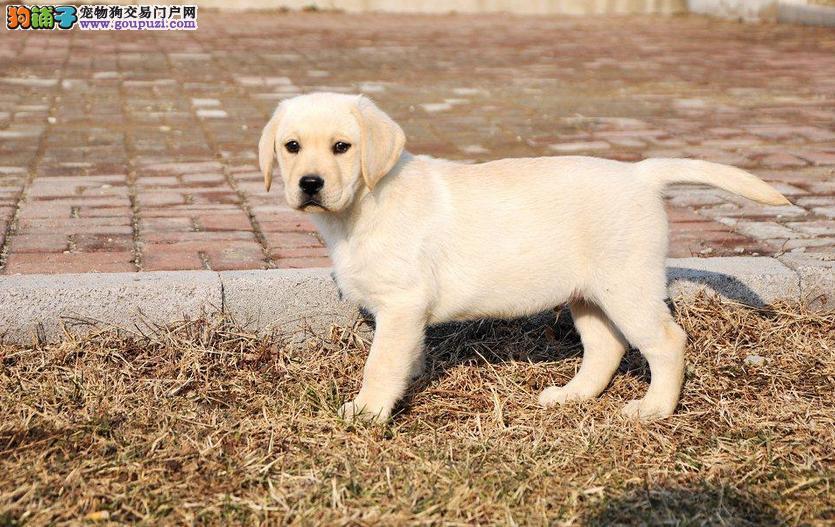 出售拉布拉多幼犬活体神犬小七纯种拉布拉多
