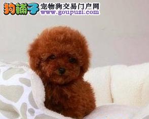 出售超可爱的小体玩具体泰迪熊宝宝 保证健康保证纯种