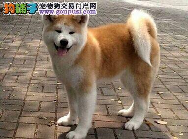 出售纯种高品质日本小柴犬活泼可爱毛色纯正包健康