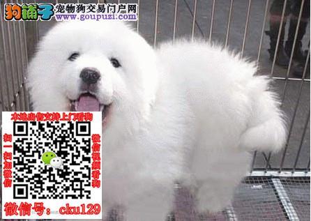 常德大白熊犬多少钱一只_纯种大白熊犬幼犬专卖