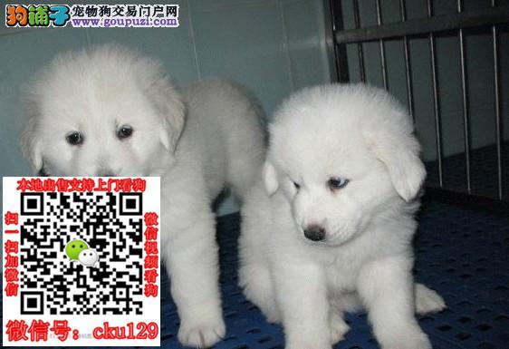 海口大白熊犬出售/海口买卖大白熊犬的地方