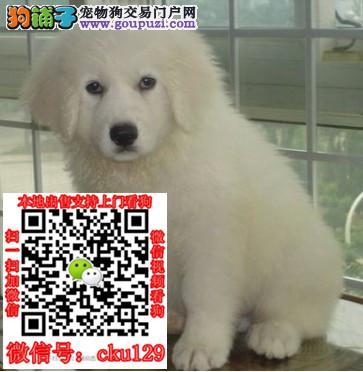 三亚市出售大白熊宝宝可视频看狗可上门挑选包纯种
