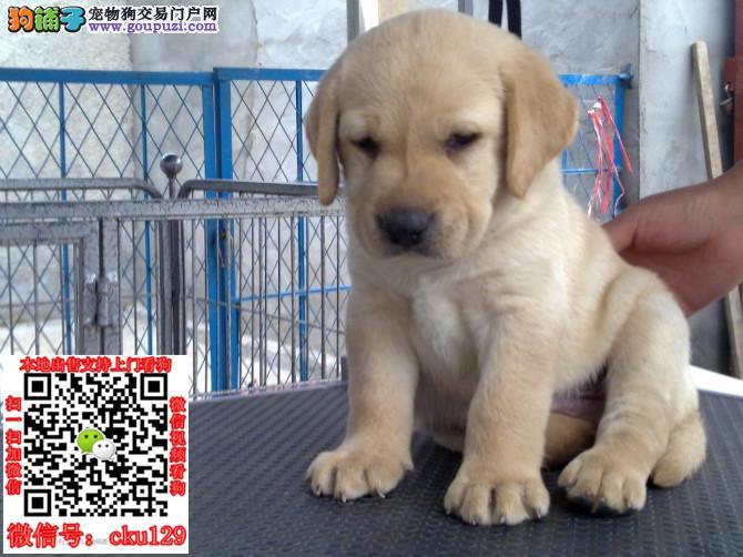 贵阳赛级拉布拉多犬保健康疫苗和驱虫均已做完可送