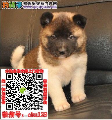 贵阳哪里有卖柴犬纯种日系柴犬多少钱赤色柴犬