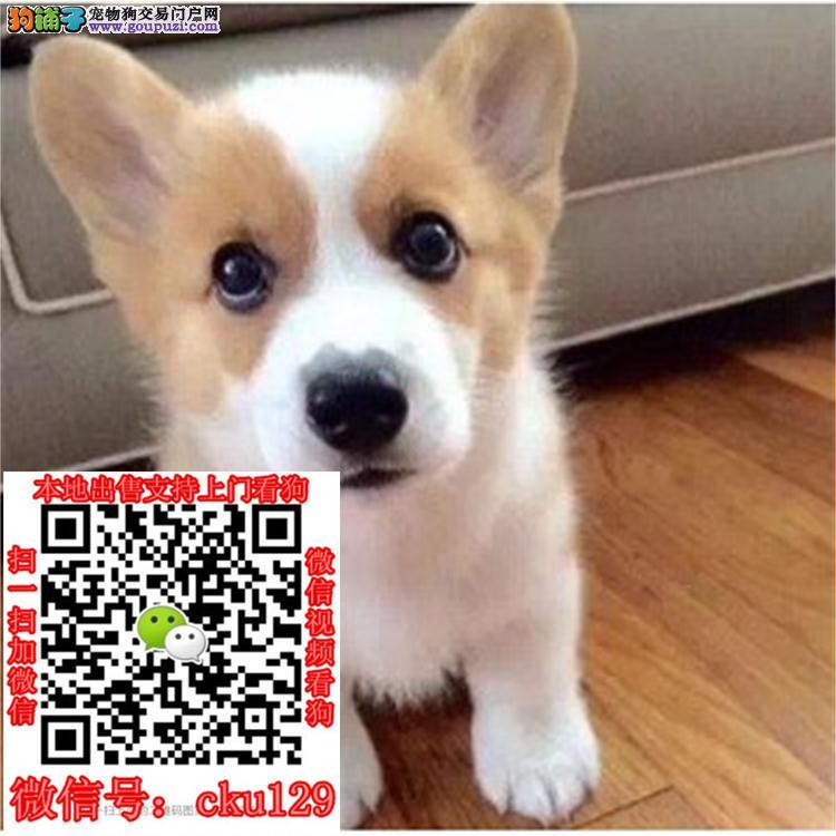 南宁出售柯基犬的地方纯种柯基犬照片价格