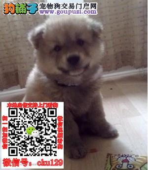 南宁柴犬价格_南宁柴犬图片