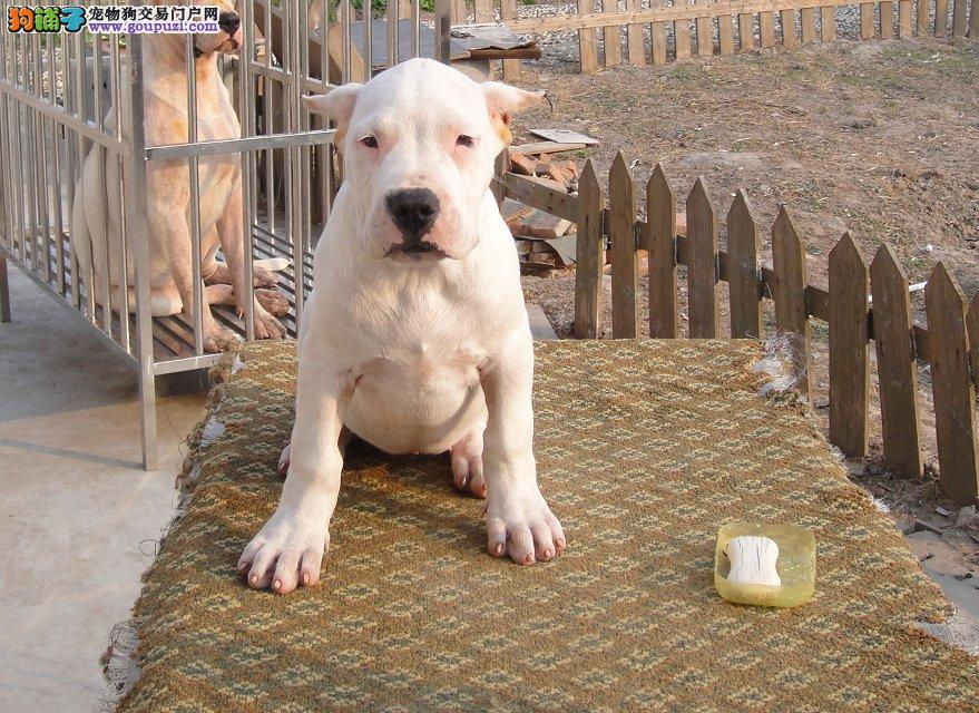 优良品质杜高犬出售价格 精品杜高犬两三个